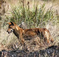 A Dingo pup hunts crickets after a controlled burn. Photograph by Emma Burgess