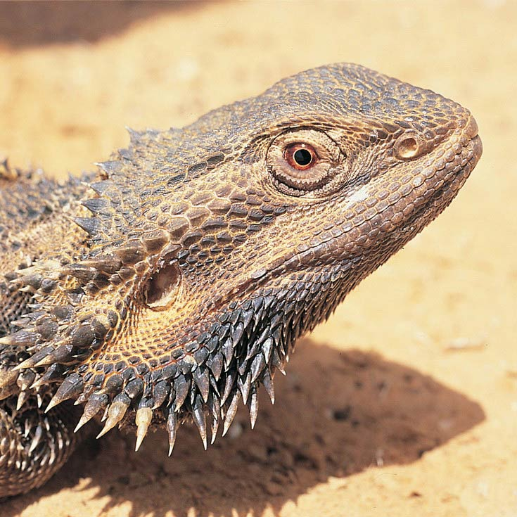 Bearded Dragons - Bush Heritage Australia