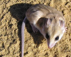 Hairy-footed dunnart