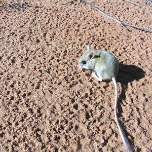 A Spinifex Hopping Mouse on Eurardy Reserve displays its long tail. Photo Leanne Hales.