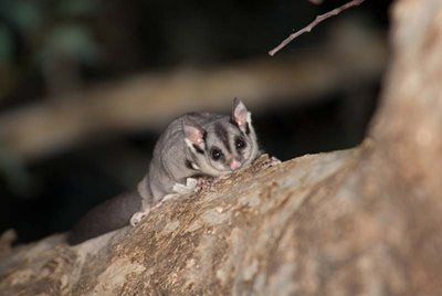 A Squirrel Glider at Scottsdale Reserve (NSW). Photo Jiri Lochman/Lochman Transparencies.