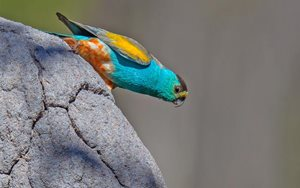 Alwal, the Golden-shouldered Parrot. Photo by Geoffrey Jones.