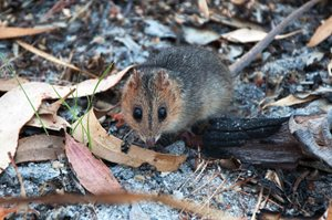 A Red-cheeked Dunnart on Cape York. Photo Annette Ruzicka.