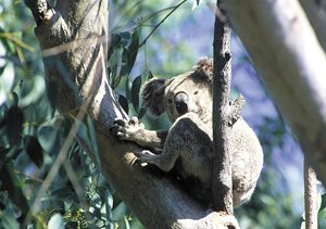 A Koala is among the many species you might see. Photo Wayne Lawler / EcoPix.