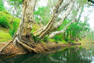 Mature weeping paperbark fringing Herbert River, Yourka Reserve. Photo Wayne Lawler / EcoPix.