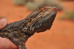 A bearded dragon. Photo Annette Ruzicka.