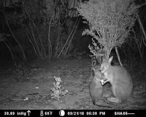 A mother Tammar Wallaby with joey, captured on remote sensor camera.