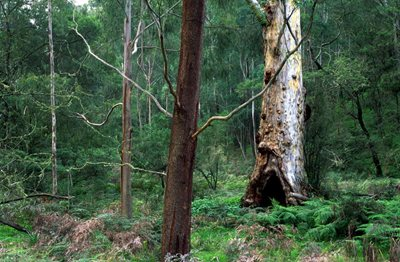 Old-growth forest red gum at Brogo Valley Reserve. Photo: Wayne Lawler/Ecopix.
