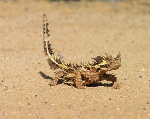 The Thorny Devil is at home on our Charles Darwin Reserve, WA. Photo Kurt Tschirner.