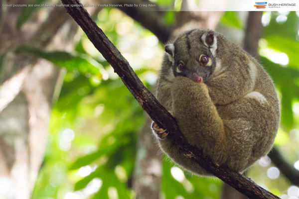 Green Possum, Wet Tropics, Queensland