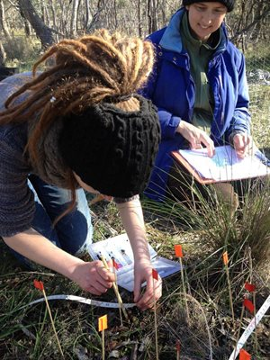 Replanting endangered orchids at JC GRffin Reserve, Vic. Photo Julie Whitfield.