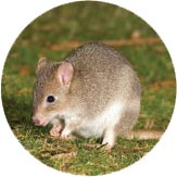 An Eastern Bettong