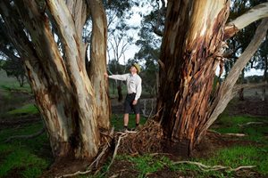 Reserve Manager Jeroen van Veen admires a Yellow Gum at the Barnett Block. Photo Peter Morris.