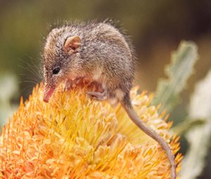 A Honey Possum feast on a Banksia.