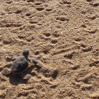 A baby Flatback Turtle makes it's journey from the nest to the sea. Photo Matt McLean.