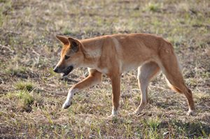 A young female Dingo near the homestead at Carnarvon Reserve, Qld. Photo Cathy Zwick.