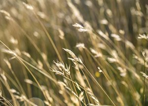 Native grasses in the Tasmanian Midlands. Photo Annette Ruzicka.
