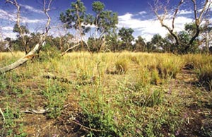 Low grassy woodland along the Field River. Photo Wayne Lawler / EcoPix.