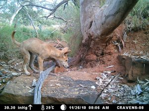 A Dingo pup caught by sensor camera on Cravens Peak Reserve.