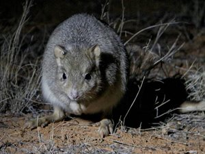A Burrowing Bettong. Photo Kate Taylor.