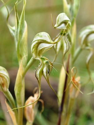 The Robust Greenhood Orchid, thought to be extinct for 70 years, was rediscovered on our Nardoo Hills Reserve. Photo:  Jeroen van Veen.
