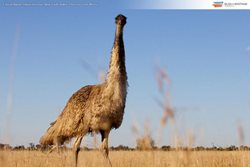Emu at Narree Station Reserve, New South Wales