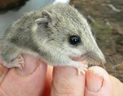 Dunnart discovered as part of monitoring for the project. Photo Conservation Council.