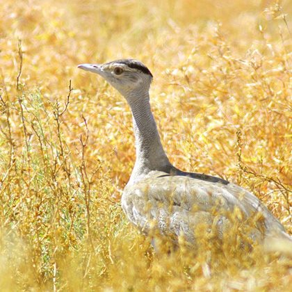 Bustard in colourful native grassland, Edgbaston Reserve. Photo Wayne Lawler / EcoPix.