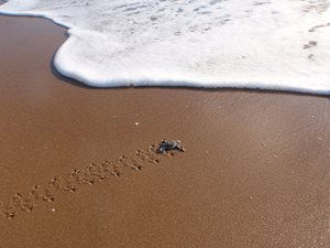 A tiny Flatback Turtle hatchling makes for the sea on beaches adjacent our Reedy Creek Reserve. Photo Matt McLean.