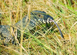 A Lace Monitor at Yourka Reserve, Qld. Photo Wayne Lawler/EcoPix.