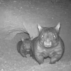 Southern hairy-nosed wombats