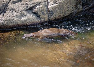 A Platypus on the Murrumbidgee River at Scottsdale Reserve (NSW). Photo Dave Watts.