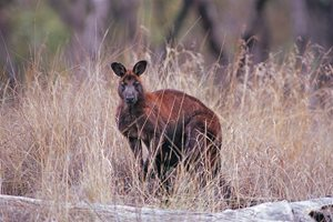 A Common Wallaroo at Carnarvon Reserve, Qld. Photo Wayne Lawler/EcoPix.