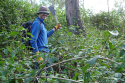 Volunteer Wayne Lewis on the hunt for siam weed.