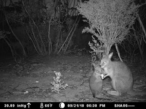 A Tammar Wallaby captured on sensor camera at Monjebup.