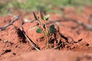A seedling in the red soil. Photo Amelia Caddy.