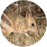 An Eastern Barred Bandicoot
