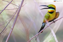 Rainbow Bee Eater at Bon Bon Reserve