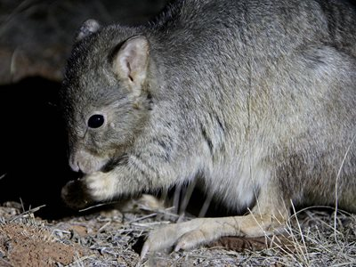 A Burrowing Bettong at Arid Recovery. Photo by Kate Taylor.