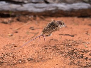 A Spinifex Hopping Mouse in motion at Hamelin Reserve (WA). Photo Annette Ruzicka.