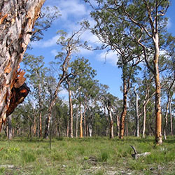 Forested woodlands, Carnarvon Station Reserve. Photo by Cathy Zwick
