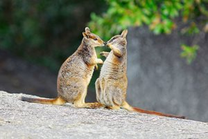 Mareeba Rock Wallabies socialising on granite rock habitat, Yourka Reserve, Qld. Photo Wayne Lawler/EcoPix.