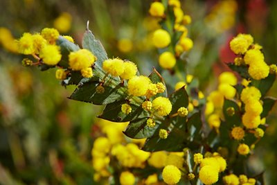A wattle in flower at Monjebup. Photo Jessica Wyld Photography.