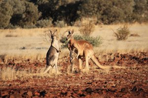 Kangaroos on our Cravens Peak Reserve, Qld. Photo Eve Jani.
