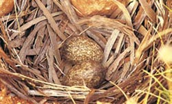 Chestnut quail-thrush nest with eggs at Charles Darwin Reserve, WA. Photo Marie and Jiri Lochman / Lochman Transparencies.