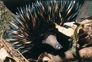 A Short-beaked Echidna on Nardoo Hills Reserves, Vic. Photo Wayne Lawler/EcoPix.