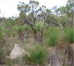 Grasstree habitat at Yourka Reserve, Qld. Photo Jeanette Kemp.