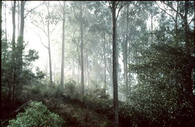 Forest mist in the early light at Brogo Valley Reserve. Photo Bob Brown.
