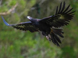 A Wedge-tailed Eagle in flight. Photo Steve Parish.