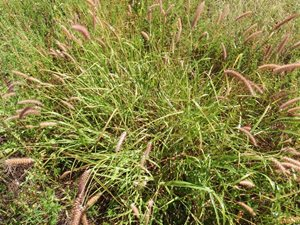 A Buffel Grass tussuck. Photo Cathy Zwick.